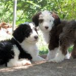 Bernedoodle Puppies Images