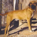 Black Mouth Cur Pics