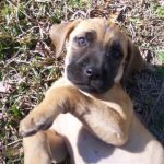 Black Mouth Cur Puppies Pictures