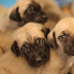 Black Mouth Cur Puppy Pictures