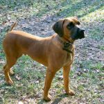 Black Mouthed Cur