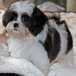 Black and White Shih Poo