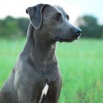 Blue Lacy Dog Breed