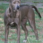 Blue Lacy Grown Up