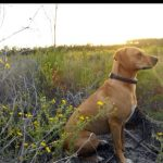 Blue Lacy Photos