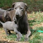 Blue Lacy Pups