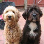 Boxerdoodle Puppies Image
