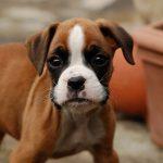 Boxerdoodle Puppy