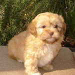 Brown Shih Poo