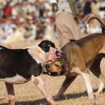 Bully Kutta Fight