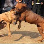 Bully Kutta Fights