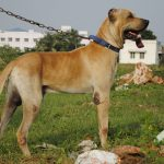 Bully Kutta Images