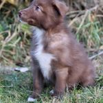 Cowdog Puppy