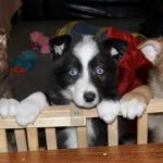 Coydog Pups Pictures