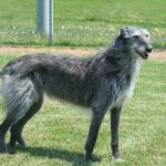 Deerhound Scottish Dog