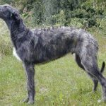 Images of Scottish Deerhound