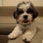 Images of Shih Poo