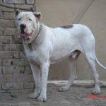Pakistani Mastiff