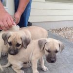 Pictures of Black Mouth Cur Puppies