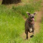 Pictures of Blue Lacy Dog