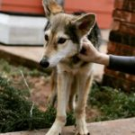 Pictures of Coydog