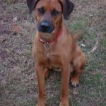 Red Back Mouth Cur