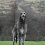 Scottish Deerhound Dogs