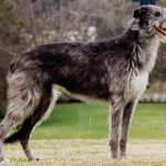 Scottish Deerhound Images