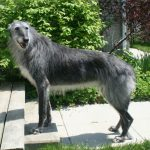 Scottish Deerhound Mix