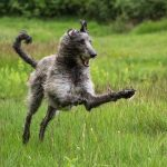 Scottish Deerhound Pictures