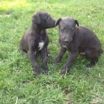 Scottish Deerhound Puppies