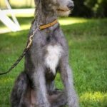 Scottish Deerhound Puppy