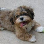Shih Poo Full Grown
