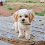 Shih Poo Pictures