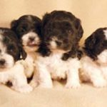 Shih Poo Puppies Pictures