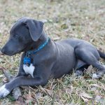 Texas Blue Lacy Dog