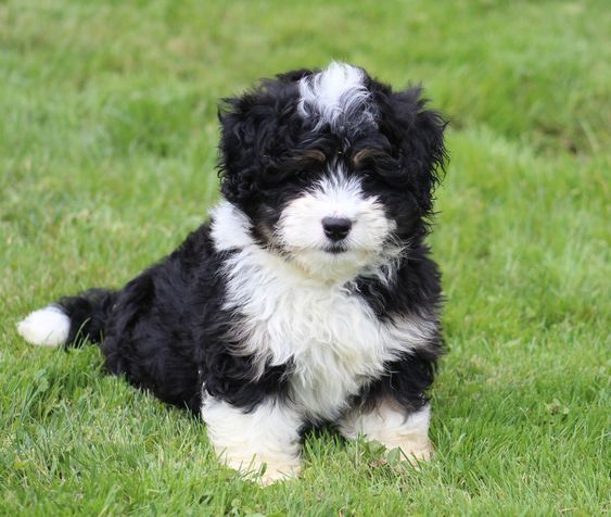 Bernedoodle Dog Breed Infosize Training Puppies Pictures