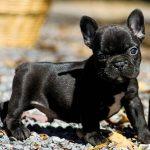 Frenchton DOg
