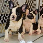 Frenchton Puppies Pictures