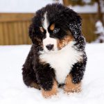 Baby Bernese Mountain Dog