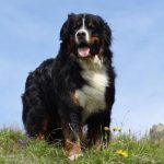 Bernese Mountain Dog Full Grown Images