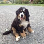 Bernese Mountain Dog Husky Mix