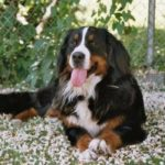 Bernese Mountain Dog Images