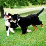 Bernese Mountain Dog Playing