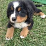 Bernese Mountain Dog Puppy Pictures