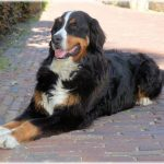 Bernese Mountain Dog Size
