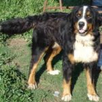 Mountain Bernese Dog