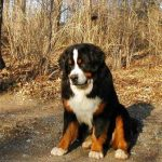 Saint Bernese Mountain Dog
