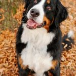 St Bernese Mountain Dog