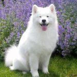 Full Grown Samoyed Dog